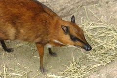 Cerfs communs de souris 2 Image libre de droits