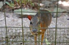 Cerfs communs de souris captifs Images stock