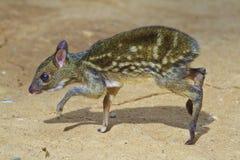 Cerfs communs de souris de bébé Photos libres de droits