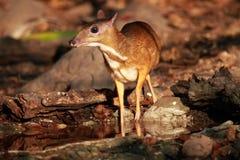 Cerfs communs de souris en Thaïlande Photos stock