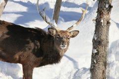 Cerfs communs de type de Whitetail dans la neige images stock