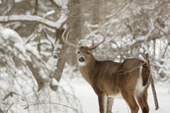 Cerfs communs de type de Whitetail dans la neige photos stock