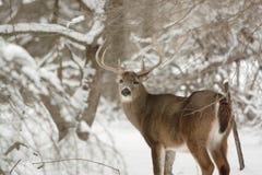 Cerfs communs de type de Whitetail dans la neige Photos stock