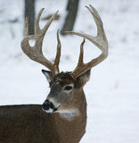 Cerfs communs de type de Whitetail de 10 points Photos stock