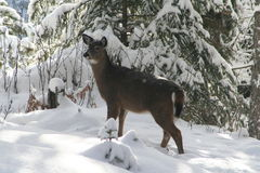Cerfs communs de Whitetail Photos libres de droits