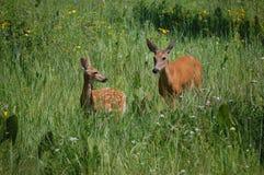 Cerfs communs de Whitetail Image stock