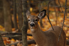 Cerfs communs de Whitetail Photographie stock