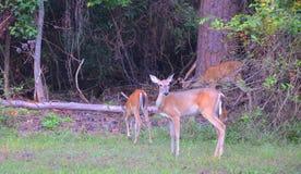 Cerfs communs de Whitetail photo stock