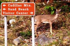 Cerfs communs de Whitetail au Maine Image libre de droits