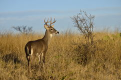 Cerfs communs de Whitetailed en Texas Hill Country Photos stock