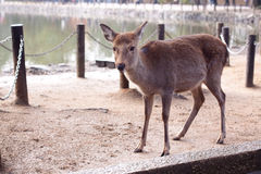 Cerfs communs debout Image stock