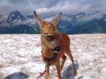 Cerfs communs dociles dans dombay Images stock