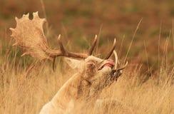 Cerfs communs drôles de visage photos libres de droits