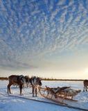 Cerfs communs du nord dans le harnais sur la neige Image libre de droits
