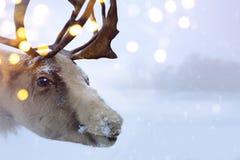 Cerfs communs du nord de Noël Photo libre de droits