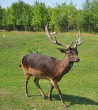 Cerfs communs du `s de Pere David photographie stock libre de droits