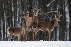 Cerfs communs en forêt de l'hiver Photo stock