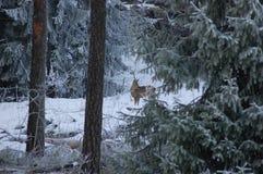 Cerfs communs en forêt de l'hiver Photographie stock