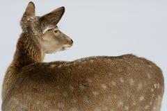 Cerfs communs en hiver Photographie stock libre de droits