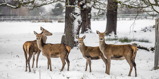 Cerfs communs en hiver Photo stock