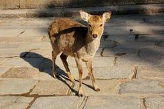 Cerfs communs en Nara Park Photos libres de droits