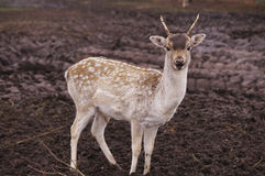 Cerfs communs en nature Images libres de droits