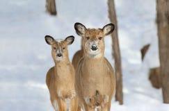 Cerfs communs en nature pendant l'hiver Photo stock