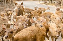 Cerfs communs en parc Photo stock