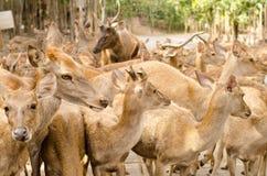 Cerfs communs en parc Image libre de droits