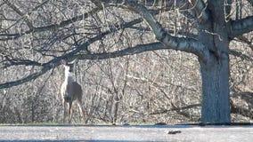 Cerfs communs en parc d'état de Grandview, WV merveilleux sauvage banque de vidéos