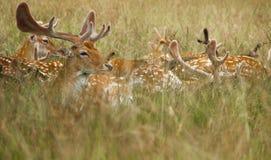 Cerfs communs en parc de Londres Photo stock