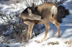 Cerfs communs en parc de montagne Photos stock