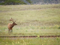 Cerfs communs en parc national Images stock