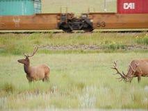 Cerfs communs en parc national Image libre de droits