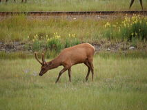Cerfs communs en parc national photo stock