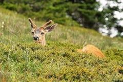 Cerfs communs en parc national olympique, WA, Etats-Unis Image libre de droits
