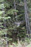 Cerfs communs en partie cachés. Image stock