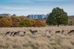 Cerfs communs en Richmond Park, Londres Photo libre de droits