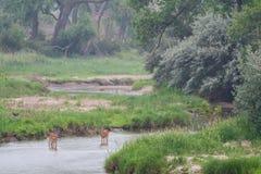 Cerfs communs en rivière Platte dans le début de la matinée Image stock