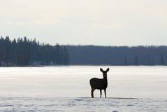 Cerfs communs en stationnement national d'île d'élans de l'hiver Photographie stock libre de droits