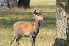 Cerfs communs en Windsor Great Park image libre de droits