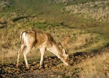 Cerfs communs errants Free au pair de pays images stock