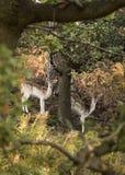 Cerfs communs errants Free au parc de pays Photo stock