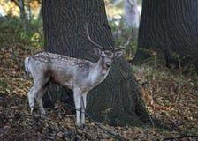 Cerfs communs errants Free au parc de pays Photos stock