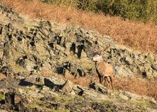 Cerfs communs errants Free au parc de pays Photographie stock libre de droits