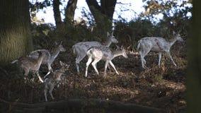 Cerfs communs errants Free au parc de pays Images stock