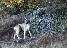 Cerfs communs errants Free au parc de pays Image libre de droits