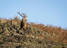 Cerfs communs errants Free au parc de pays, sous un ciel bleu Photo stock