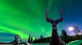 Cerfs communs et aurora borealis de mule au-dessus de forêt de taiga Photographie stock libre de droits