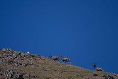 Cerfs communs et chèvres sauvages Image stock